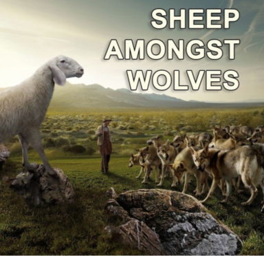 sheep lambs -amongst-wolves